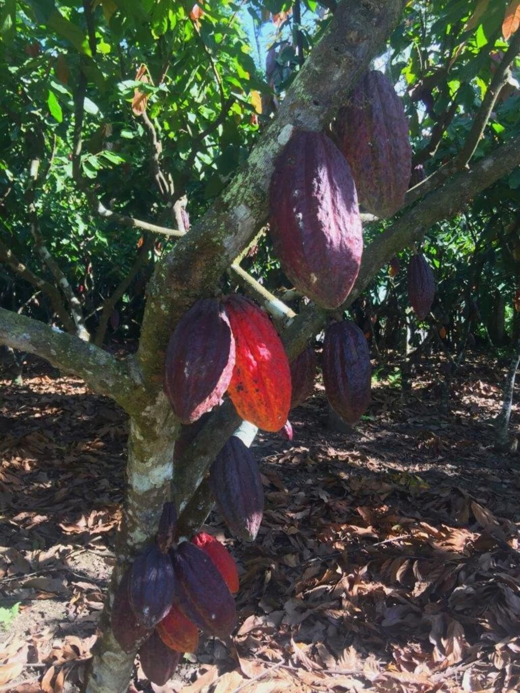 Kakao Bild Nunes Renata bearb  2