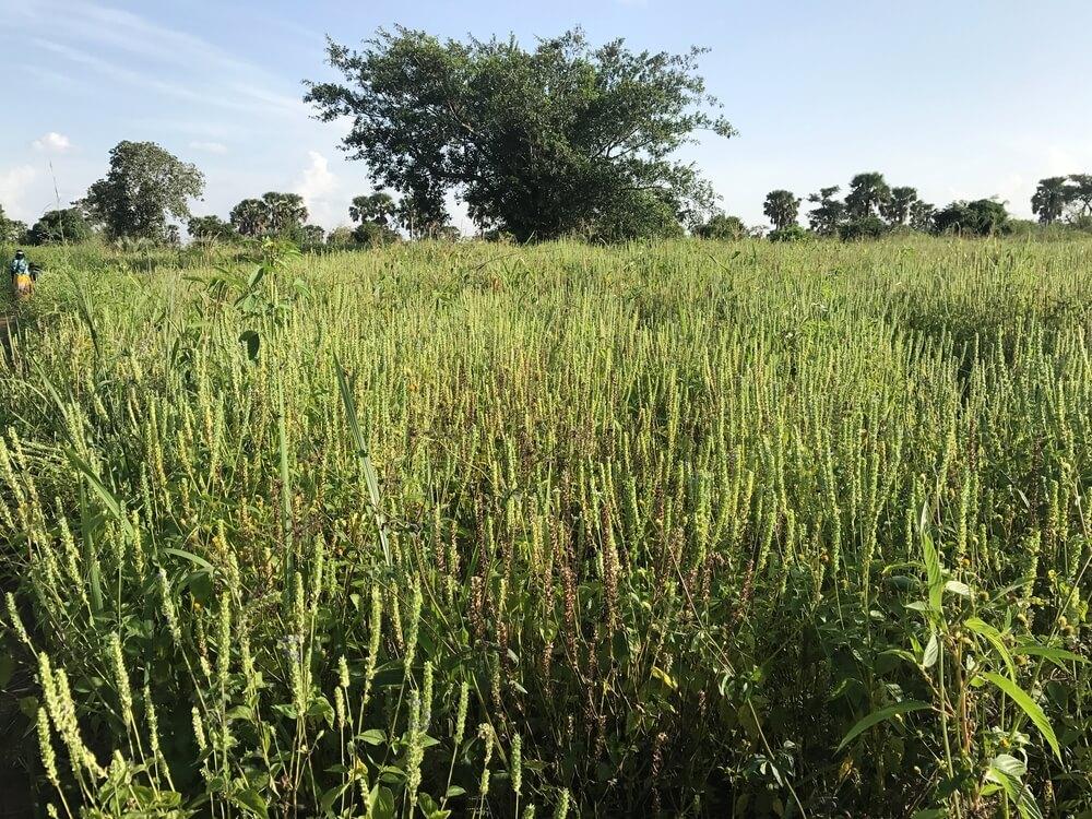 Chiafeld Uganda Bild Naturkost UEbelhoer.JPGChiafeld Uganda Bild Naturkost UEbelhoer